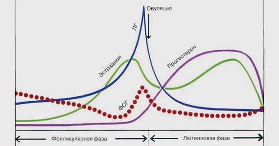 Уровень гормонов на стадии овуляции